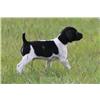 Shorthair puppies in Oregon. Image