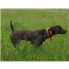 Nice Selection of Trained Pointing Dogs Available.  All Breeds Image