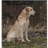 (WI) Hunter's Yellow Labrador Puppies Born 7/19/2016 Image