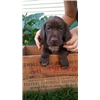 Puppies for Sale Image