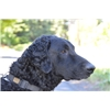 Imported male 1.5 year old started Curly Coated Retriever Image