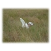 English Setter Gun Dog Puppies For Sale Image