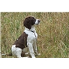 Started English Springer Spaniel Puppy - Field Bred Image