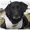 Over Thr Top AKC/UKC Black Lab Puppies - excellent pedigrees Image