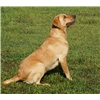 Champion AKC/UKC Fos Red/Yellow Lab Puppies-excellent pedigrees Image