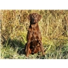 Black Pointing Lab Pups From Outstanding Breeding-Accepting Deposits Image