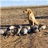 AKC British Labrador Retriever puppies for sale Image