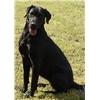 AKC/UKC Black lab Puppies - EXCELLENT PEDIGREE Image