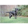FC Sired Black Field Trial & Hunting pups for sale  Image