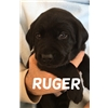 AKC Labrador puppies. Black, Ivory and Yellow Image