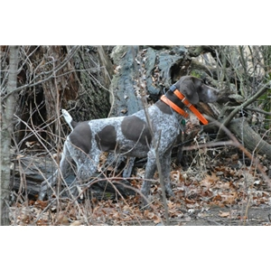 Pheasant Hunting Dogs For Sale Mn