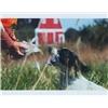 ENGLISH SPRINGER SPANIEL puppies Image