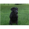 Black lab MH available for stud Image