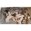 Setters West - Ryman/Old Hemlock/European English Setter puppies whelped mid Feb Image