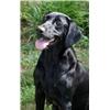 AKC/UKC Black Lab Pups-Excellent Pedigrees Image