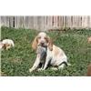 Bracco Italiano puppies available Image