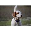 English Setter Puppies Champion Bloodlines Image