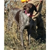 AKC German Shorthaired Pointer Puppies for sale  Image