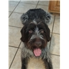 Wirehaired Pointing Griffon Pups - 2 litters Due March 2020 Image