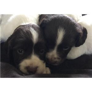 Gun Dog Purebred English Springer Spaniel Puppies Ad 81467