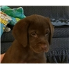 chocolate lab puppies by 4xGMPR Wing Magic's Sante Fe Jake QAA MH Image