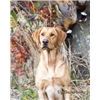 (SW MO)  Yellow & Fox Red Labrador Retriever pups, Strong Field/Hunt Test  Pedig Image