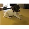 German Shorthair Pups Image