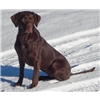 Exceptional repeat performance chocolate litter! Maestro QA2 X Maggie MH21 Image