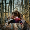 AKC registered German Wirehaired Pointers Image