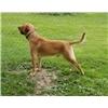 Labrador Retriever Puppies Image