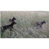 German Short-Haired Pointer Puppies Image
