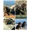 American Water Spaniel Pups for sale Image