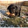 AKC Labrador Retriever Puppies Image