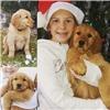 Field bred Golden Retriever Puppy Image