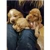 English Cocker puppies  Image