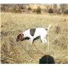 Started German Shorthaired Pointer Female Image