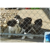 Small Munsterlander Pointer Puppies - Current & Planned Litters Image