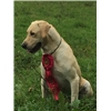 All Yellow Pointing Lab Puppies, REPEAT Breeding, Loaded 4X GMPR  Image