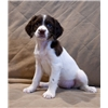English Springer Spaniel Puppies - Ready to Go Image