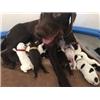 AKC GWP Puppies Image