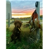 Pudel Pointer Sunset