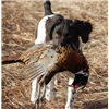Branka's First Pheasant