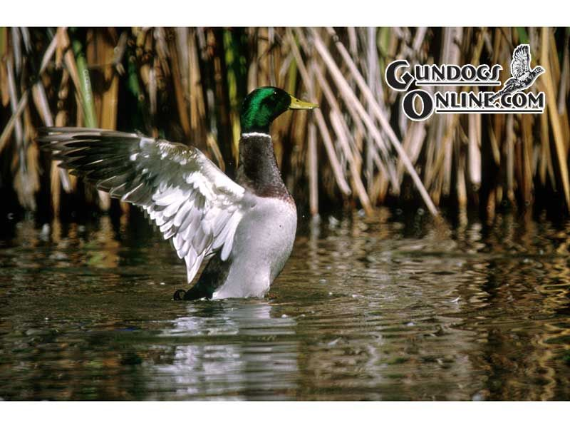 gallery for drake waterfowl systems wallpaper